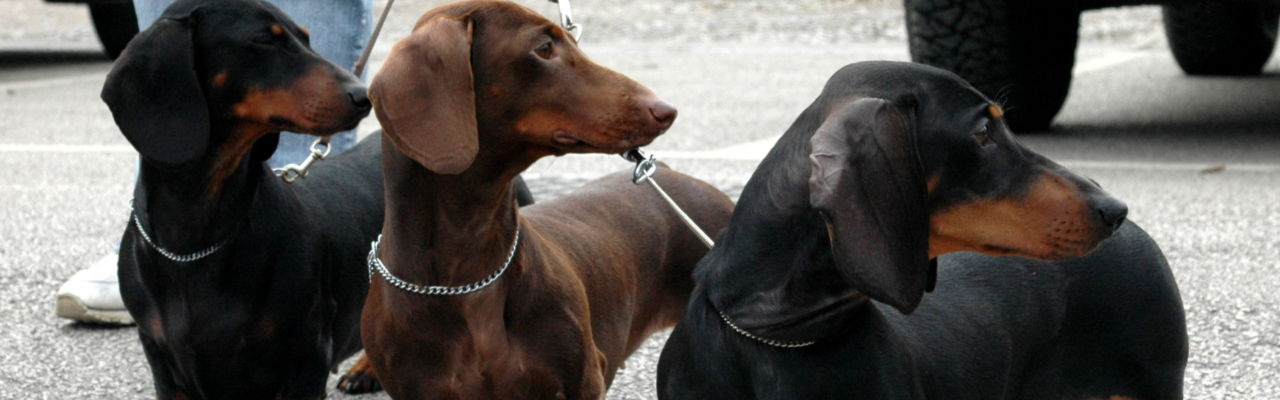 Cleo, Ellie and Breese at a dog show. Hampdach Dachshunds