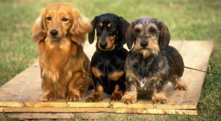 Mini Dachshunds, with Long Haired, Wire Haired and Smooth Haired Dachshunds